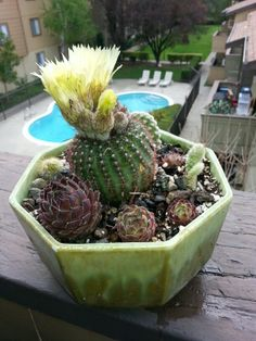 Blooming cactus garden in an antique pot