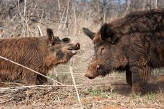 Pig Hunting Tips: How to Call in Wild Hogs | Outdoor Life