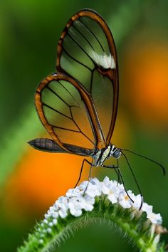 Glass winged Butterfly: A beautiful butterfly in our ParadeOfGardens.com!