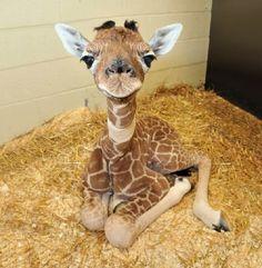 Baby Giraffe.                                                                                                                                                                                 More