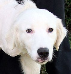 Camellia is an adoptable Great Pyrenees Dog in Wells, ME. Camellia is a 6 month old female Great Pyrenees/retriever mix puppy. She came to us severely injured with a badly broken front leg that could ...