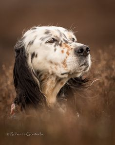 Working English Setters - Upperwood English Setters