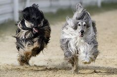 Afghan hounds, hairy pups!