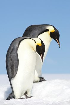 """Emperor Penguins (aptenodytes Forsteri), Side View"" by Daisy Gilardini on fineartamerica.com"
