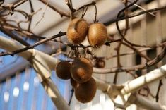 Harvesting Kiwi Fruit: How And When To Harvest Kiwis - Kiwi fruit is a lovely green with tiny uniform and edible black seeds inside the fuzzy brown skin, which is removed before eating. Find out when to harvest the tasty fruits in this article. Fruit Garden, Edible Garden, Kiwi Growing, Growing Plants, Hardy Kiwi, Kiwi Vine, Grapevine Growing, Food Safety Tips, Gardening Magazines