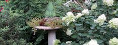 birdbath planted with succulents amid hydrandeas