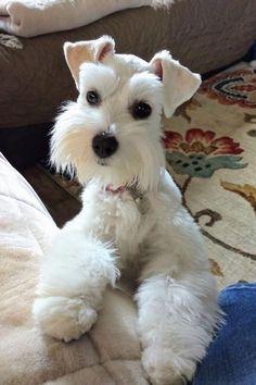 #dog#цвергшнауцер#белый#собака# Schnauzers, Miniature Schnauzer Puppies, Schnauzer Puppy, Pet Puppy, Miniature Dogs, Goldendoodle, Chien Fox Terrier, Fox Terriers, Cute Puppies