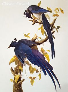 Audubon, fåglar. Nytryck. € .High resolution print. Elegant birds by the master Audubon.