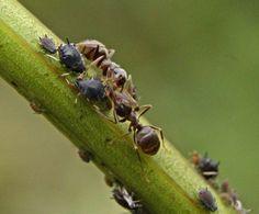 Как избавиться от муравьев на участке? В огороде, в саду, в теплице. Народные средства - Ботаничка.ru