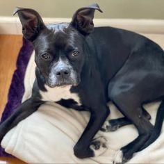 Elizabeth Warren, an adoptable Boston Terrier in Jersey City, NJ
