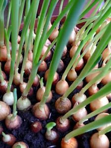 Never Pay For Onions Again: Grow Them Indoors! This page has all sorts of interesting ideas for growing plants indoors. This page has all sorts of interesting ideas for growing plants indoors. Container Gardening, Gardening Tips, Balcony Gardening, Indoor Gardening, Organic Gardening, Apartment Gardening, Vegetable Gardening, Garden Plants, Indoor Plants