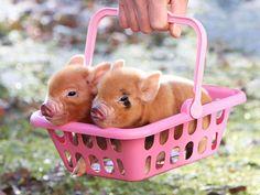 baby pigs!