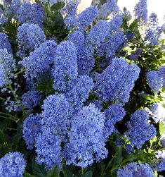 Ceanothus Joyce Coulter Online At Annie S Annuals