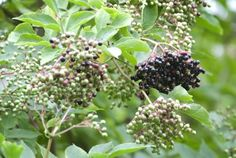 The elderberry shrub is fairly easy to grow, but an application of fertilizer for elderberry will help ensure the best fruit set. So how and when is the best time to fertilize elderberry? Read this article to find out more about fertilizing elderberries. Fruit Plants, Fruit Garden, Edible Garden, Fruit Trees, Garden Plants, Mint Plants, Elderberry Growing, Elderberry Shrub, Elderberry Recipes