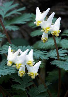 Old House Gardens Heirloom Bulbs Dicentra cucullaria, DUTCHMAN'S BREECHES, 1731