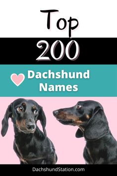 What is a Good Name for a Dachshund?  Top 200 Dachshund Names you will love.  Dachshunds have a unique disposition, a bold attitude, and a colorful personality. A good dachshund name should be something that you can think of quickly and is easy to spell over the phone to your veterinarian. Dachshund names don't have to be sausage or hot dog shape-based names (sausage dog names).  #dachshund