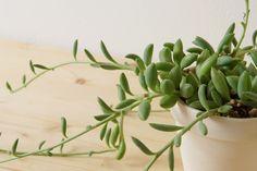 茎が伸び見た目が悪くなったアーモンドネックレスの調節 Succulents, Green, Plants, Succulent Plants, Flora, Plant