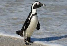 Endangered Penguin Games: Waddle like this African penguin! Penguin Facts, Penguin Day, Penguin Bird, Penguin Awareness Day, Birds That Cannot Fly, Penguin Pictures, Penguin Species