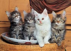 500 Piece Puzzle Maine Coon Cats « Game Searches