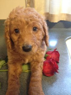 Teddy, red Goldendoodle puppy at 6 weeks old from RiverValleyDoodles.com - 2013 Maggie litter. Adopted.