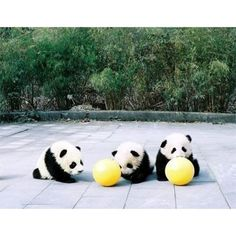 Image in Panda collection by 1daisy on We Heart It