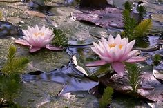 """waterwoodshastra: """" A seed turns mud into a lotus. Bodhicitta turns suffering into compassionate wisdom. """""""