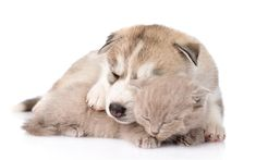 Download wallpapers puppy and kitten, husky, cute animals, friendship concepts, pets, cat and dog
