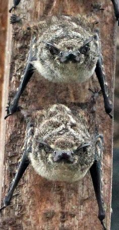 Mexican long-nosed bats.  Too cute!