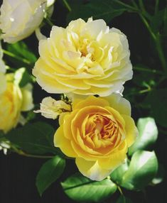 """Rose - Yellow Heirloom Rosa heirloom (yellow) Great for negotiating and conflict resolution. Brings the heads and hearts together to create common understanding and resolve. Useful in situations that need positive resolution to bring about Win Win opportunities. """"I am for having the confidence of knowing that you are at home in the Universe."""""""