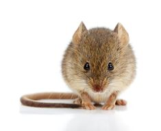 From sealing holes to using live traps and essential oils, here's how to keep mice out of your home without hurting them (or your pets).