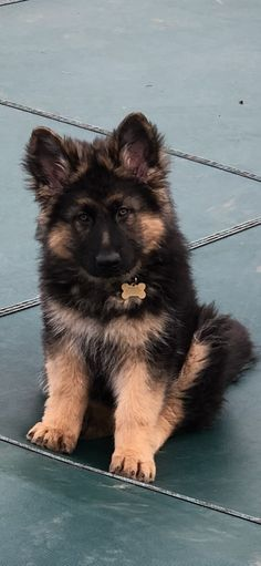 Wicked Training Your German Shepherd Dog Ideas. Mind Blowing Training Your German Shepherd Dog Ideas. Gsd Puppies, French Bulldog Puppies, Cute Puppies, Cute Dogs, Gsd Dog, Berger Malinois, German Shepherd Puppies, German Shepherds, Schaefer