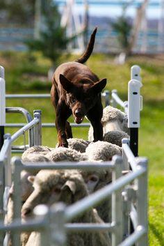 running on top of sheep. kelpies are awesome. Australian Cattle Dog, Australian Shepherd, Beautiful Creatures, Animals Beautiful, Sheep Dogs, Border Collies, Working Dogs, Dog Stuff, I Love Dogs