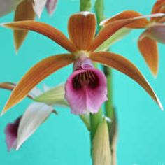 nun's orchid (Phaius tankervilliae) a good choice for beginners