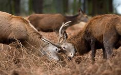 A pair of deer rutting in Richmond Park, London Picture: Ben Stevens/i-Images