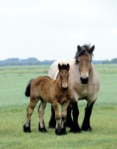 Brabant mare and foal
