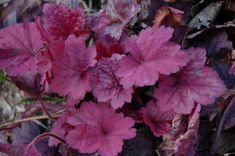 Georgia Plum - Coral Bells (Heuchera at Gertens Plant Height: 7 inches Flower Height: 14 inches Spread: 15 inches Sunlight: full sun partial shade full shade Hardiness Zone: 4a Other Names: Coralbells, Alumroot Description: Pink bells rise from compact mounds of rose-purple colored foliage with a silver overlay; amazing contrast to other plants; great versatility; keep soil moist in heat of summer