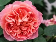 'Boscobel' features beautifully formed small-petaled salmon colored flowers. It has a medium-strong myrrh fragrance with hints of elderflower, pear and almond.