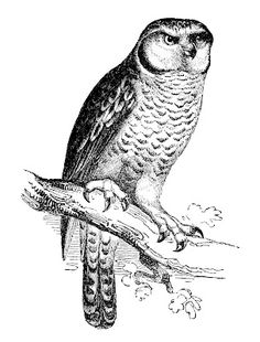 Vintage Clip Art - Owl Engraving - The Graphics Fairy