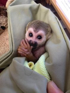 My New Best Friend: Kingston the Baby Squirrel Monkey : The Featured Creature