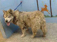 ***URGENT on 12/23 SAN BERNARDINO a Alaskan Malamute for adoption in San Bernardino, CA who needs a loving home. Facts About Me Breed Alaskan Malamute Mix Color Tan/Yellow/Fawn - with Black Age Senior Size Large 61-100 lbs (28-45 kg) Sex Male Pet ID A510380 My Info Shots Up to Date ***COURTESY POST****