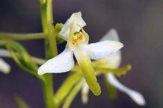 Plantathera bifolia, Les Orchis - MonSitePhotos - MonSitePhotos