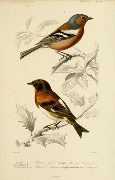 gravures couleur d'oiseaux - Gravure oiseau 0213 pinson vulgaire - fringilla…