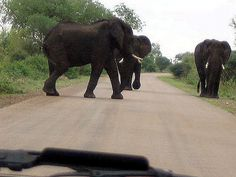 Elephant in the Kruger - These three walked slowly towards us and then appeared to discuss what to do. Wander, South Africa, Elephant, Park, Animals, Animales, Animaux, Elephants, Parks
