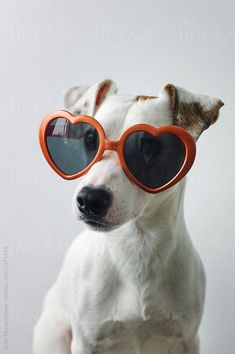 Dog Pictures Ideas - Dog Training Checklist - Fluffy Dog That Dont Shed - Original Dog Names - - Baby Dog Photoshoot Best Dog Photos, Cute Dog Photos, Dog Pictures, Corgi Funny, Funny Dogs, Jack Russell Terriers, Jack Russell Puppies, I Love Dogs, Cute Dogs