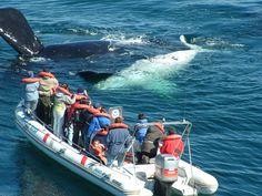 Whale, Peninsula de Valdes - Argentina