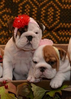 Bulldog puppies, I want one so bad. I would name her cupcakes.