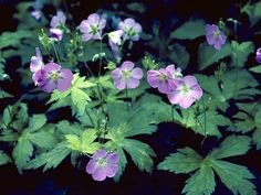 Wild geranium- i have lots of these Woodland Flowers, Woodland Garden, Wild Geranium, Plant Images, Seed Bank, Victorian Flowers, Colorful Garden, Shade Garden, Native Plants