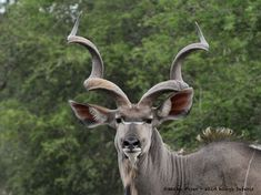 A majestic kudu bull. Not surprisingly, the animal featured on the official logo of South African National Parks Board. African Safari, National Parks, Logo, Board, Animals, Animales, Logos, Logo Type, Animaux