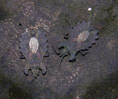 Bark bugs (Dysodius sp, Aradidae), BCI, Panama