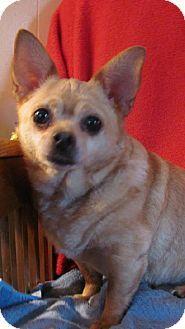 Glastonbury, CT - Chihuahua. Meet PeeWee Popper - Local a Dog for Adoption.